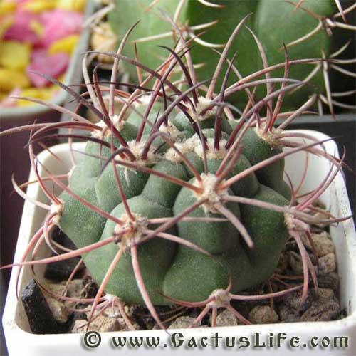 Виды кактусов как называются домашние кактусы