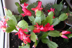 Shlumbergera Truncatus