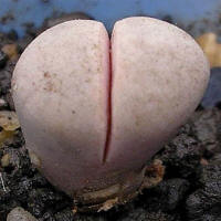 Lithops rushiorum nelli C240